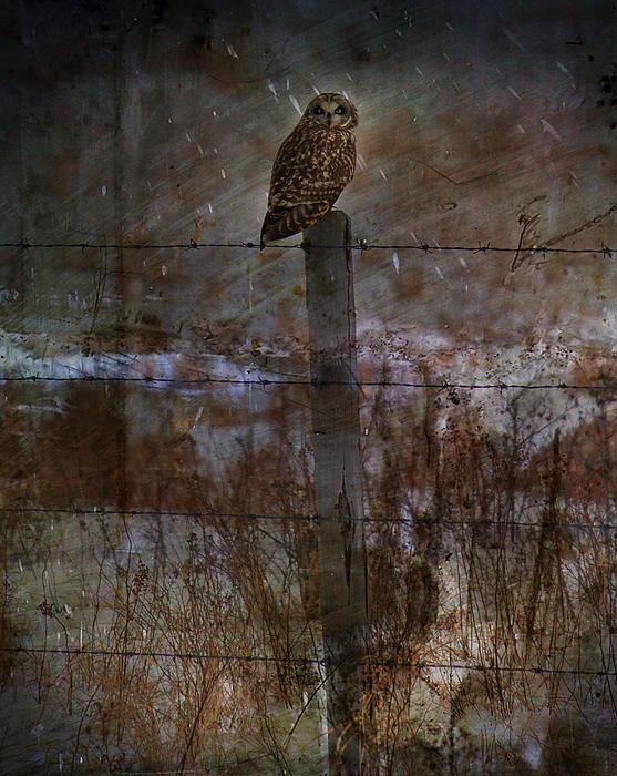 Short Eared Owl Print by Jerry Cordeiro