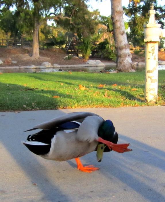 Shy Duck Photograph