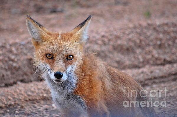 Anjanette Douglas - Shy Fox