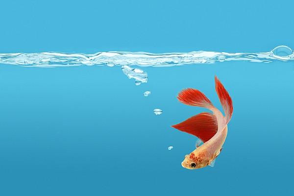 Siamese Fighting Fish Betta Splendens Print by Don Hammond