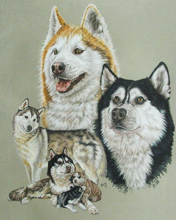Siberian Husky Drawing by Barbara Keith - Siberian Husky Fine Art ...