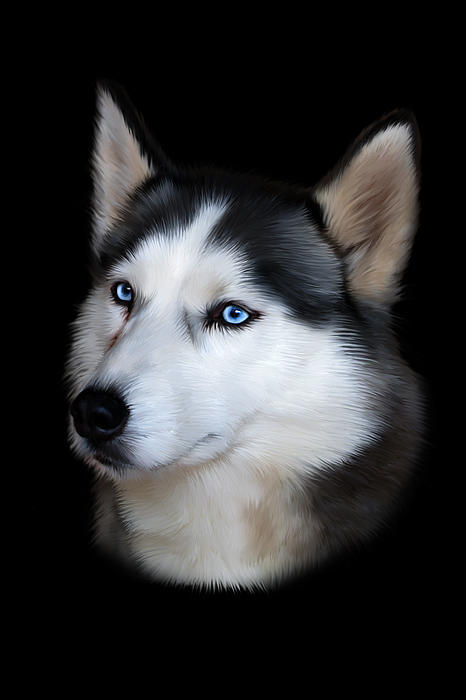 Siberian Husky Dog Print by Julie L Hoddinott