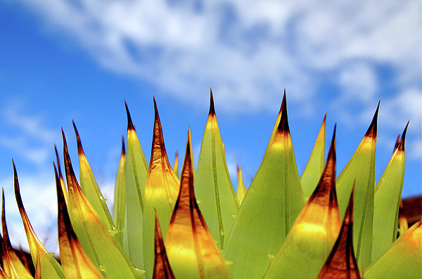 Side View Of Cactus On Blue Sky Print by Greg Adams Photography