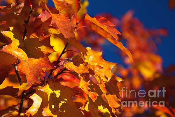 Sierra Autumn Leaves In Orange And Gold Print by ELITE IMAGE photography By Chad McDermott