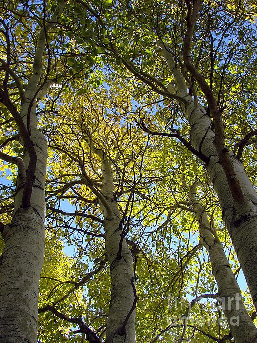 Sierra Nevada Aspen Fall Color Print by Scott McGuire