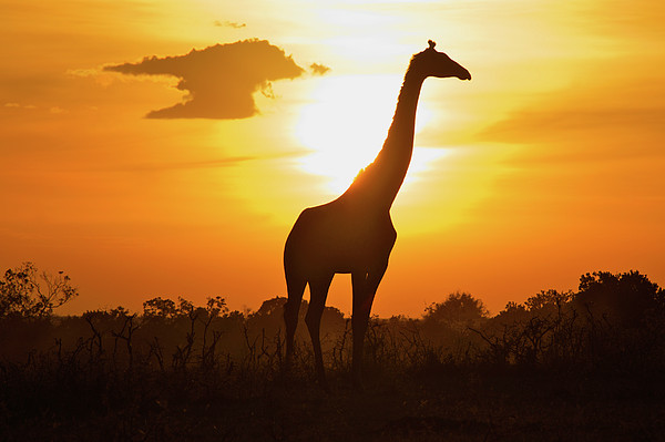 Silhouette Giraffe At Sunset Print by Joost Notten
