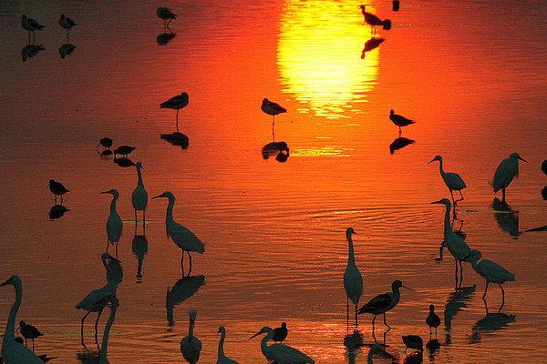 Silhouetted Wading Birds Feed Print by George Grall