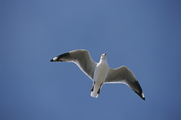 Silver Gull In Flight Print by Jason Edwards