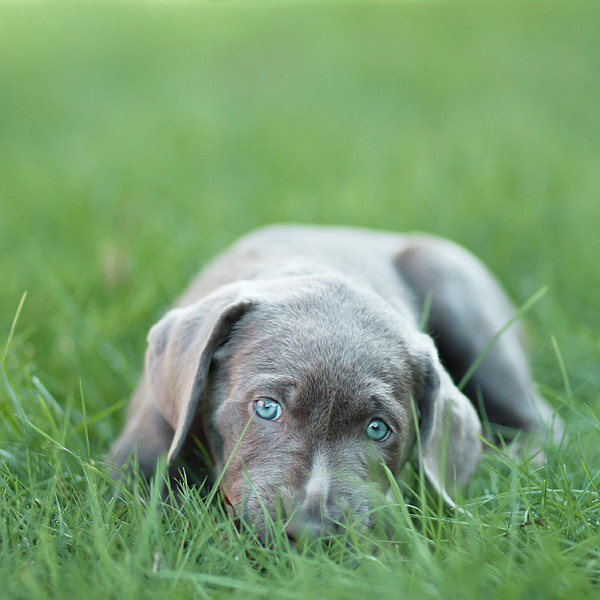 Silver Lab Puppy Print by Laura Ruth