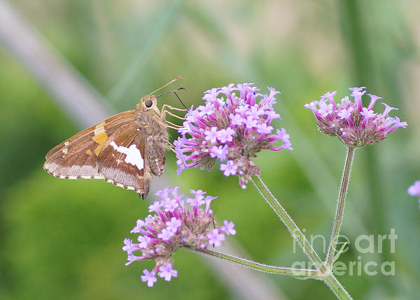 Robert E Alter Reflections of Infinity - Silver-spotted Skipper and Verbena