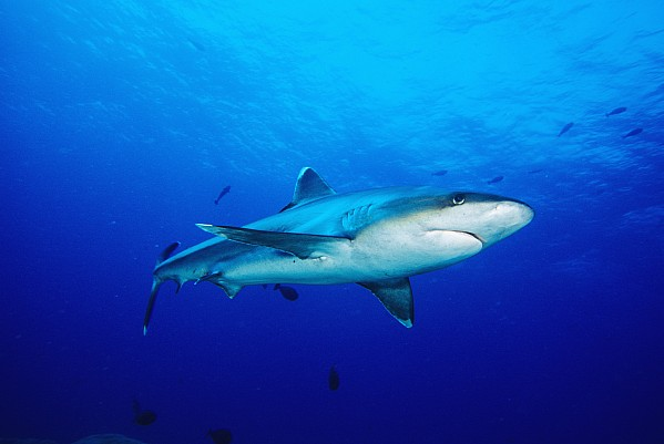 Silvertip Shark In Thailand Print by Dave Fleetham - Printscapes