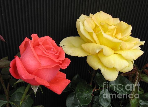 Judyann Matthews - Simply Roses