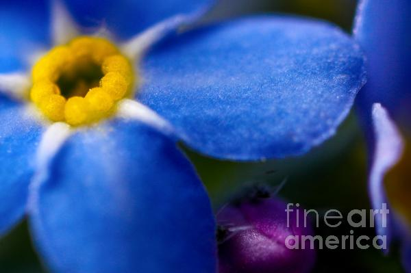 Single Blue Wood-forget-me-not Print by Ryan Kelly