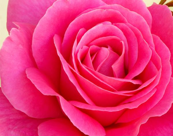 Single Pink Rose Flower