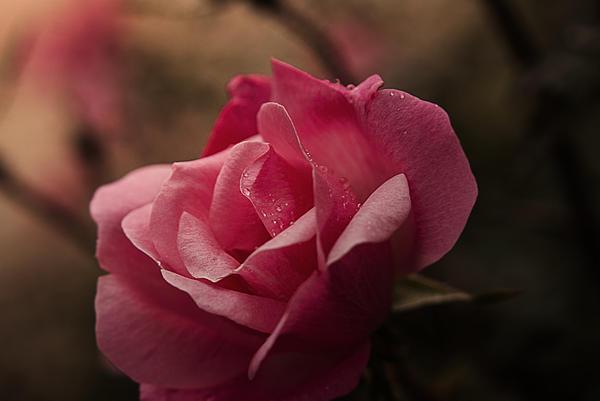 Kelly Rader - Single Rose