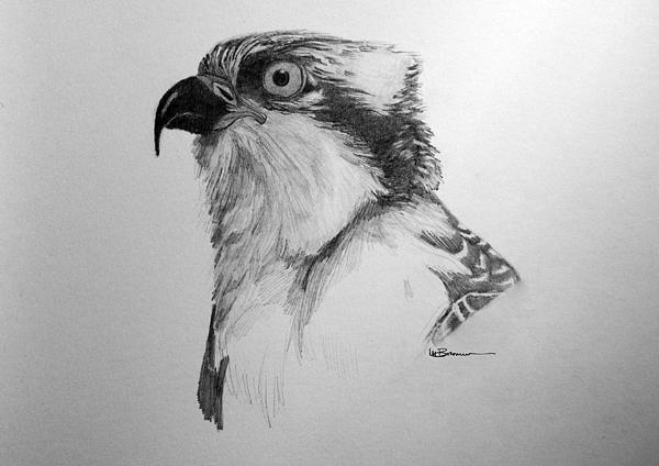 Sketch Of An Osprey Print by Leslie M Browning