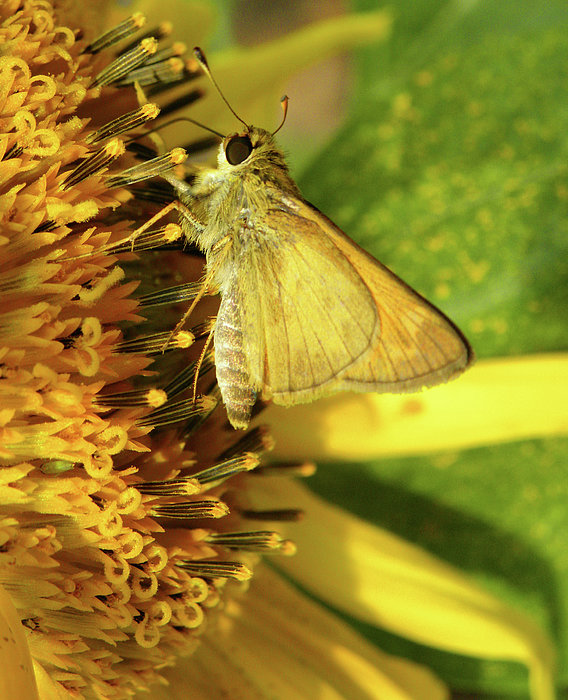 Skipper And Sunflower Print by Sandi OReilly