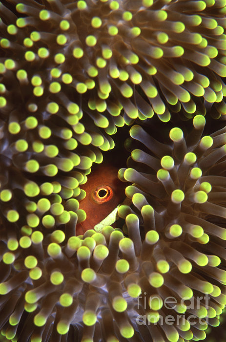 Skunk Clownfish Hiding In Anemone Print by Beverly Factor