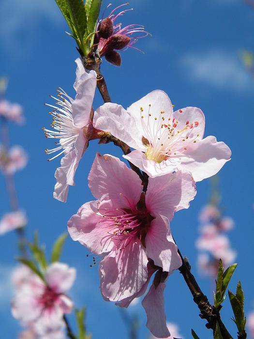 Cheryl Hardt Art - Sky High Cherry Blossoms