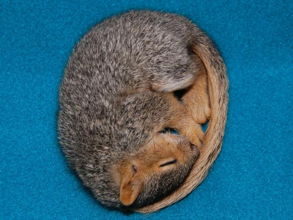 http://images.fineartamerica.com/images-medium/sleeping-baby-squirrel-carla-menjivar.jpg