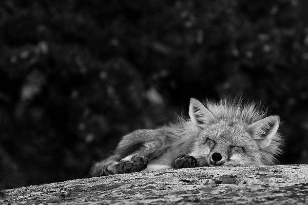 Maik Tondeur - Sleeping Fox Black and White Edit