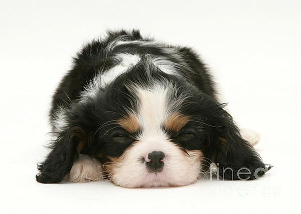 Sleeping Puppy Print by Jane Burton