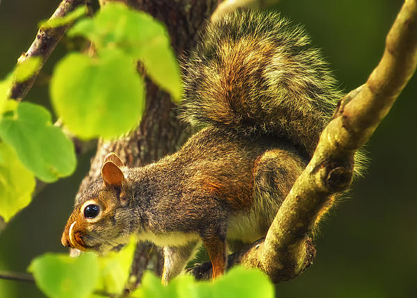 Snaggletooth Squirrel In Tree Print by Bill Tiepelman