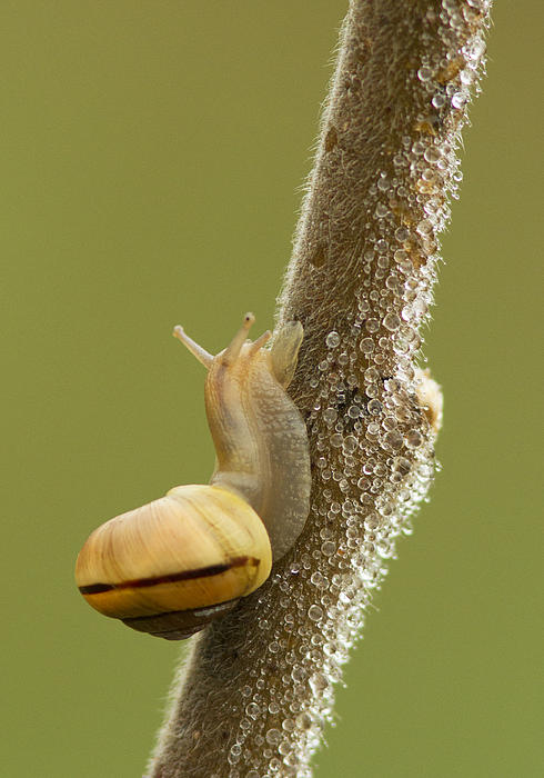 Snail In Dew Print by Mircea Costina Photography