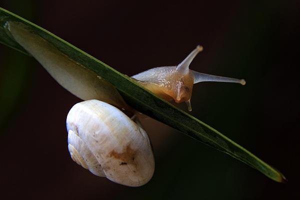 Snail Print by Stylianos Kleanthous