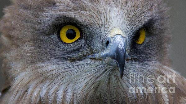 Snake Eagle 2 Print by Heiko Koehrer-Wagner