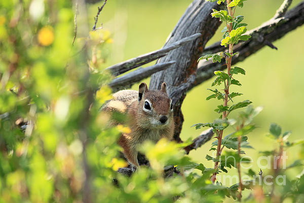 Val Armstrong - Sneaky Chipmunk