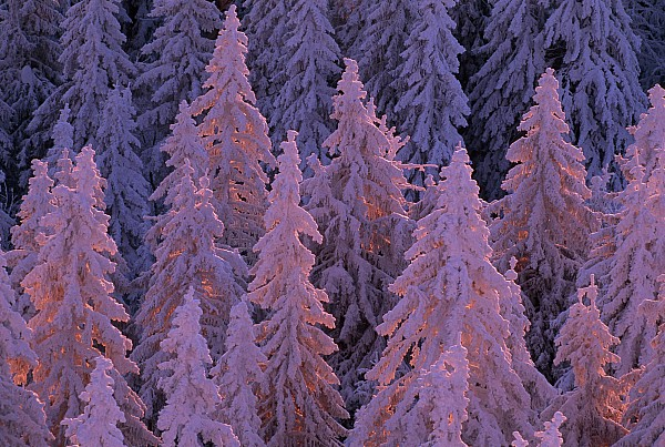Snow Blanketed Fir Trees In Germanys Print by Norbert Rosing
