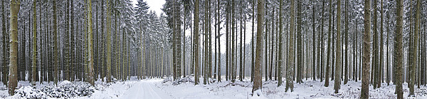 Snow-covered Forest In Winter Print by Hans-Peter Merten