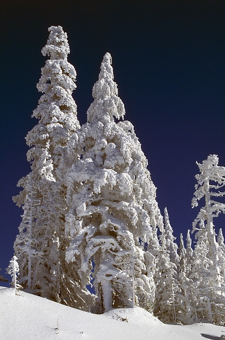 Snow-covered Pine Trees On Mount Hood Print by Natural Selection Craig Tuttle
