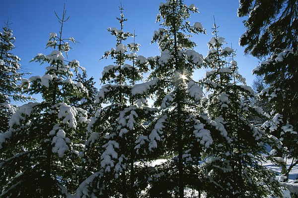 Snow-covered Pine Trees Print by Taylor S. Kennedy