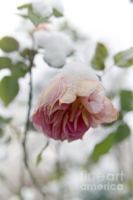 Snow-covered Rose Flower Print by Frank Tschakert
