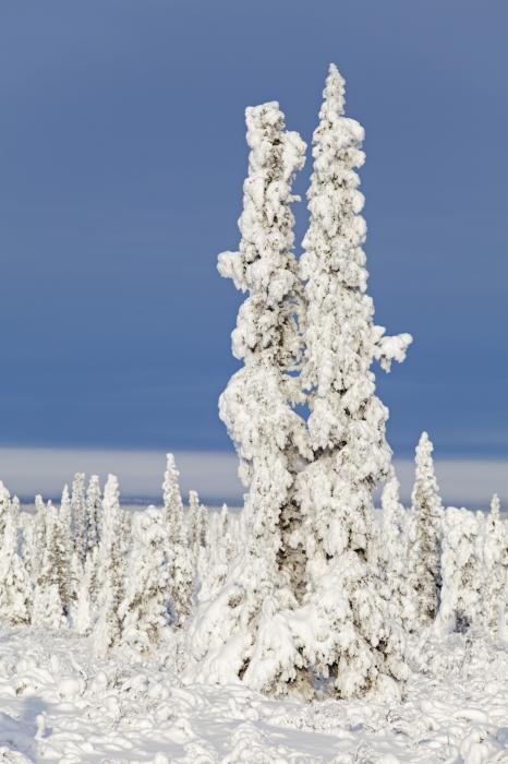Snow Covered Spruce Trees Print by Tim Grams
