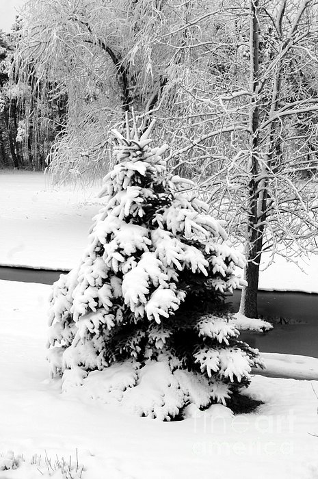 Snow Covered Trees Print by Kathleen Struckle
