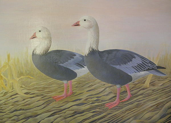 Snow Geese Print by Alan Suliber