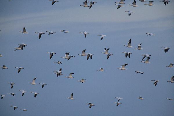 Snow Geese In Flight Print by George Grall