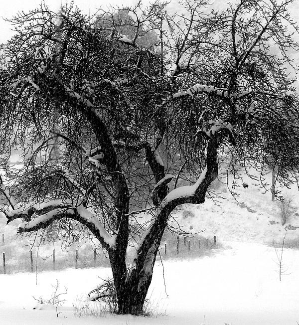 Douglas Wilks - Snowing and Apple Tree