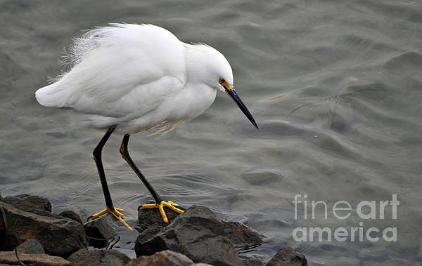 Gwyn Newcombe - Snowy Egret
