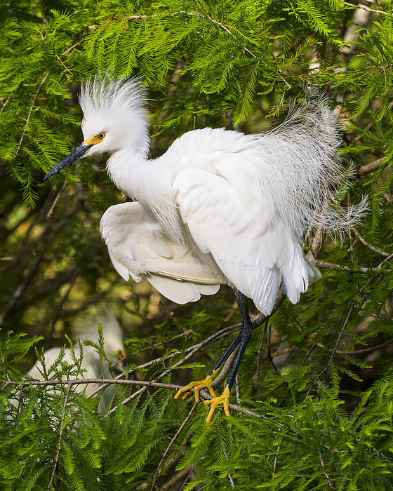 Snowy Egret In Breeding Plumage Print by Bill Swindaman