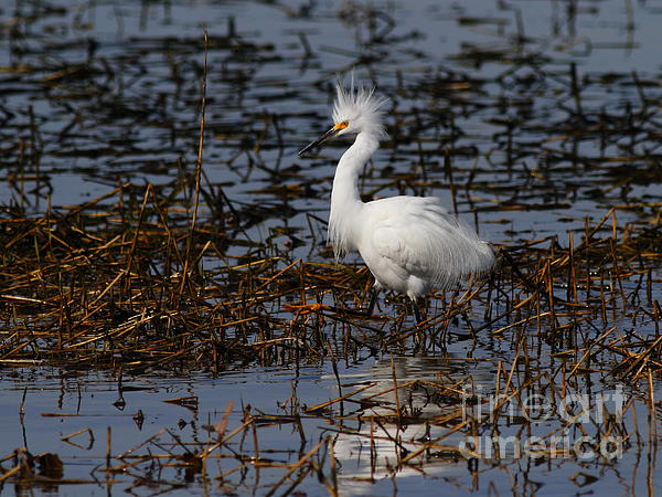 Snowy Egret . Solitude . 7d11963 Print by Wingsdomain Art and Photography