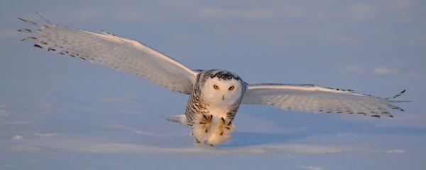 Snowy Owl Last Light Print by Scott  Linstead