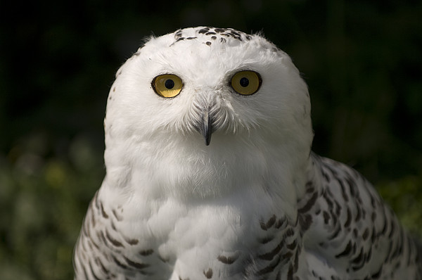 Joel Sartore - Snowy Owlsbubo Scandiacus At A Zoo