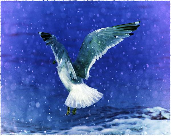 Snowy Seagull Print by Debra  Miller