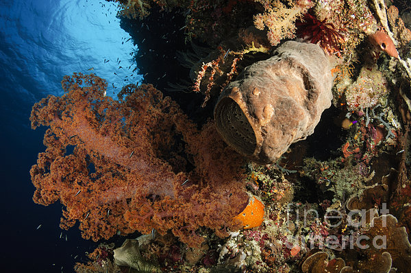 Soft Coral Seascape, Indonesia Print by Todd Winner