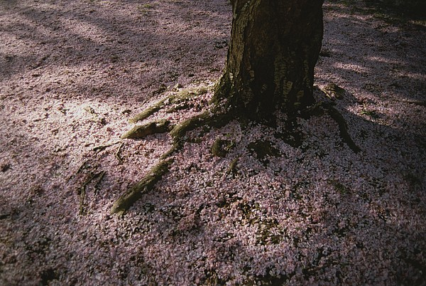 Soft Light On A Pink Carpet Of Fallen Print by Stephen St. John