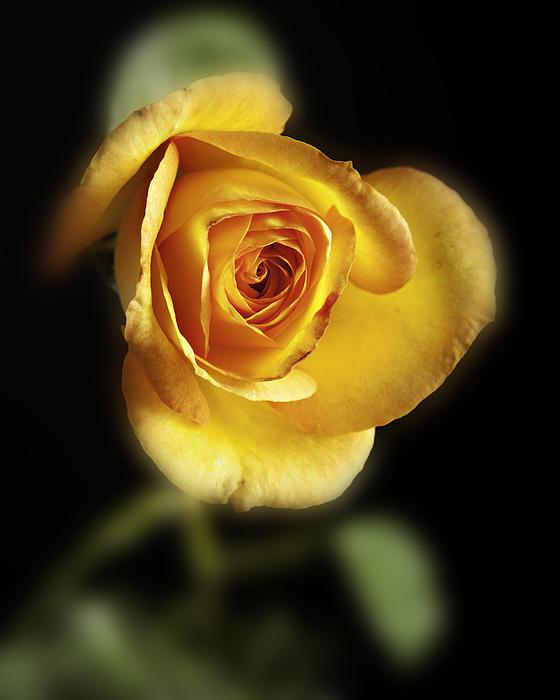 Soft Yellow Rose On Black Print by M K  Miller
